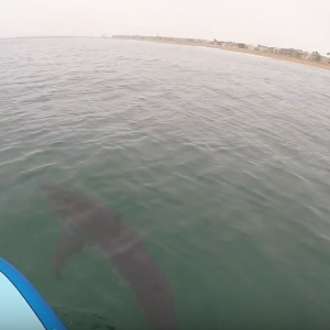 GREAT WHITE SHARKS SUP