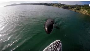 Orca vs. Paddle Board!