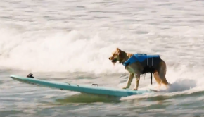 SUP Surfing with Surf Dog Teddy