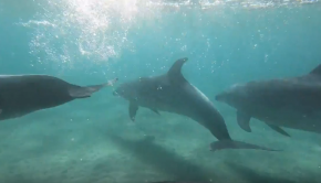 SUP foiling (& Swimming) with Dolphins